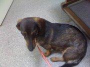 Хорошенькая собачка Шерри (метис таксы) очень ждет хозяев...
